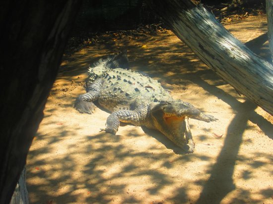 Hotel Fontan Ixtapa : croc at the end of the beach waiting for lunch