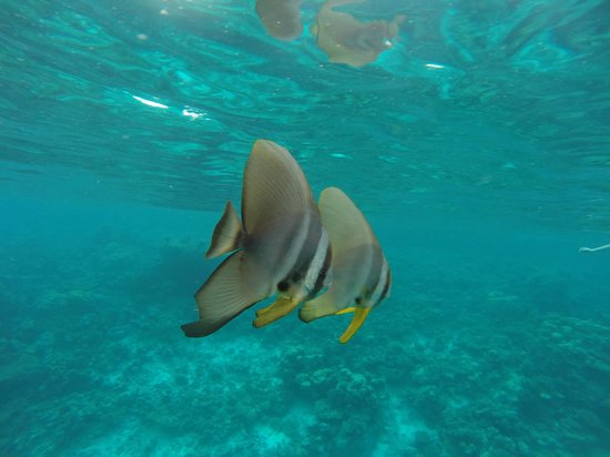 Baros Maldives: Batfish ... can we come home with you?
