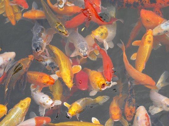 Guilinyi Royal Palace : Feeding the fish
