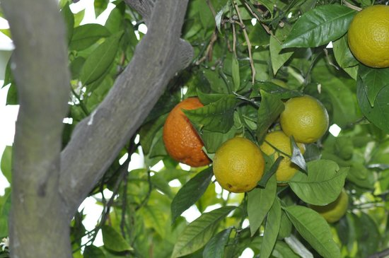 Peckover House: Oranges in the restored orangery