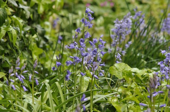 Peckover House: Bluebells in the gardens