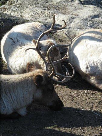 Musée de plein air de Skansen : Reindeers