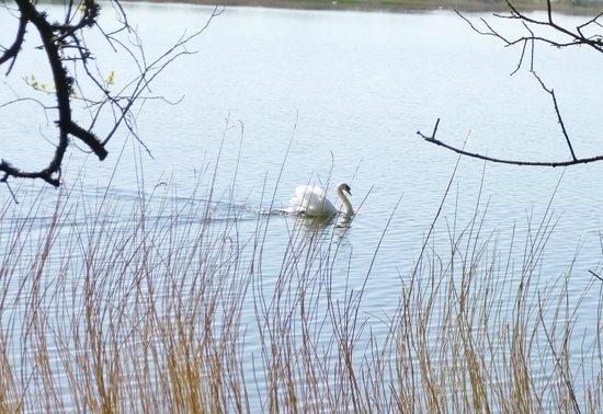 Slapton Ley Field Centre: swan displaying