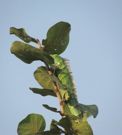 Hamanasi Adventure and Dive Resort : Iguana outside our tree house window