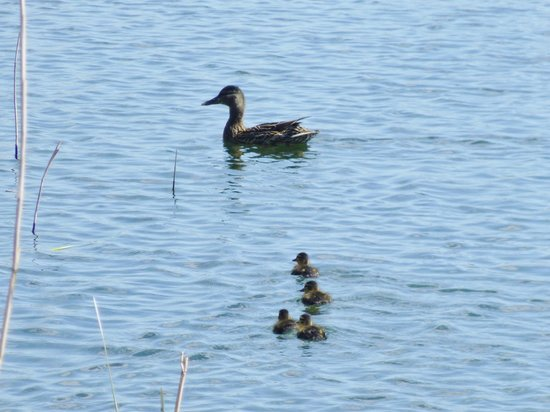Slapton Ley Field Centre: mallard and young