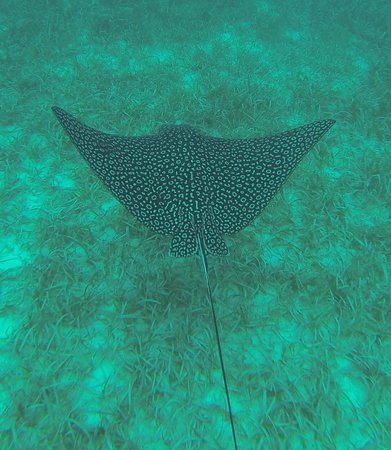 Hamanasi Adventure and Dive Resort: Snorkeling Trip -Spotted Eagle Ray
