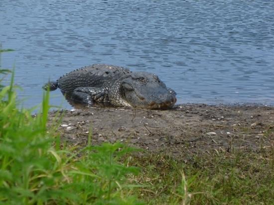 Myakka River State Park: big ole gator.