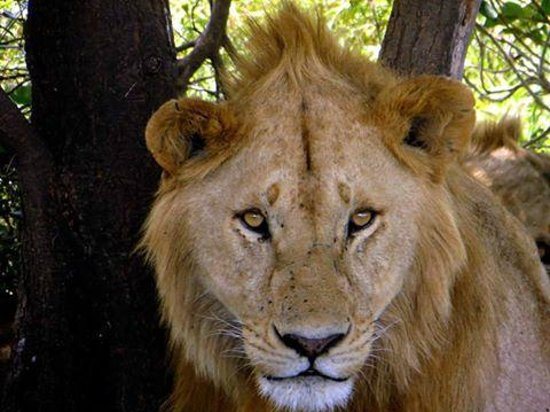 Meru Mountain Treks and Safaris Ltd - Day Tours : the lion - one out of the big 5