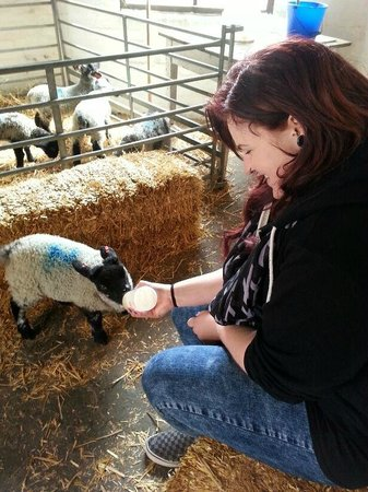Hall Hill Farm: Feeding one of the lambs.