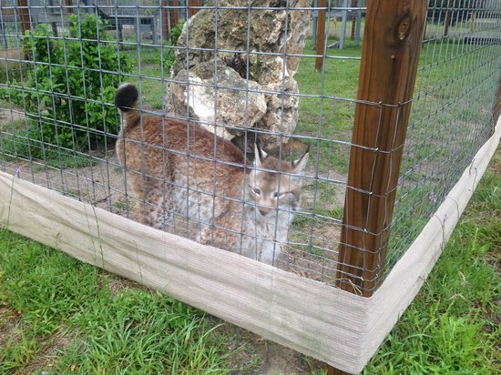 Carson Springs Wildlife Conservation Foundation : Eurasian Lynx