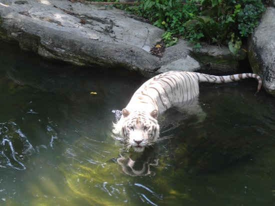 Singapore Zoo: Tigers cooling off