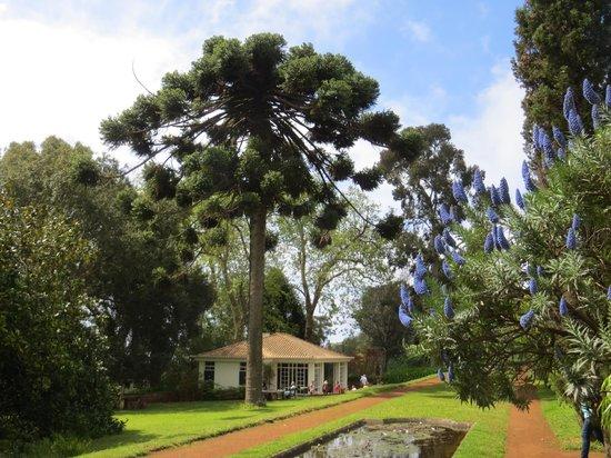 Palheiro Gardens : Another Araucaria