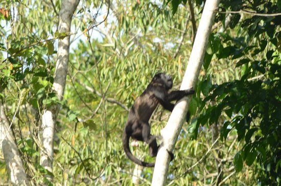 Panama Rainforest Discovery Center: Howler Monkey