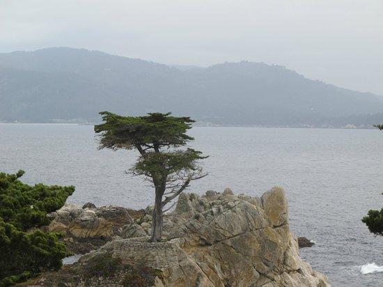 17-Mile Drive: Lone Cyprus
