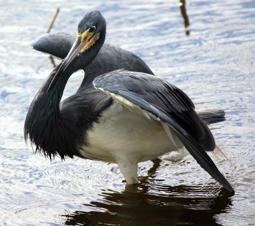 Governor Michael Gore Bird Sanctuary: Tri-colored Heron