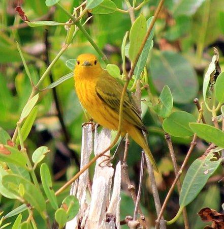 Governor Michael Gore Bird Sanctuary: Vitrelline Warbler