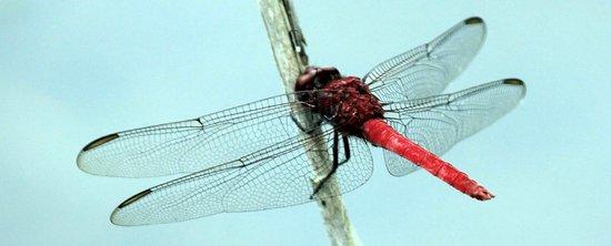 Governor Michael Gore Bird Sanctuary: Dragonfly