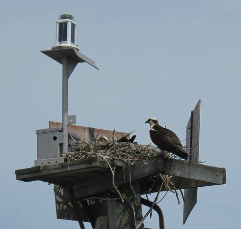 Chincoteague Cruises & Nature Tours : Osprey