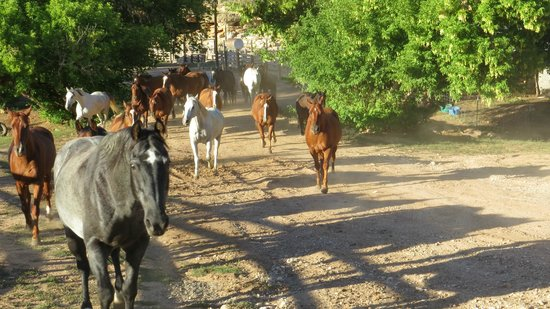 Dryhead Ranch: Ranch horses leaving the corral going to pasture for the night