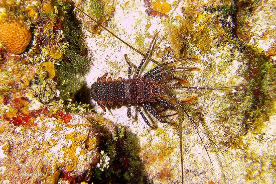 Subway Watersports: Spotted Spiny Lobster