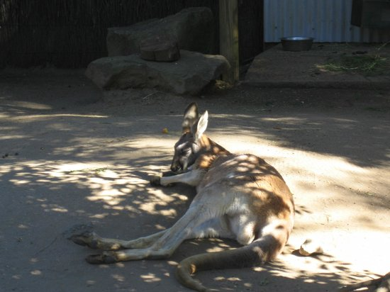 Taronga Zoo : Kangaroos sleeping