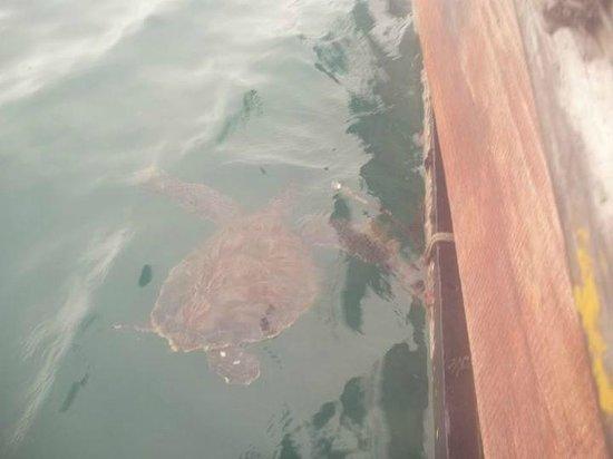 Prainhas do Pontal do Atalaia : Arrecife con tortugas marinas