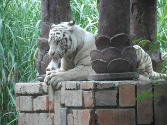 Bali Safari & Marine Park : White tiger feeding time
