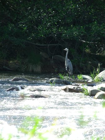 Camp James Campground: The great blue heron that hung out across from our campsite