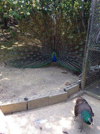 Neo Park: Peacock said hi to us.