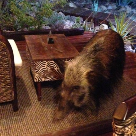 Zwartberg View Mountain Lodge: Celeste the bush pig