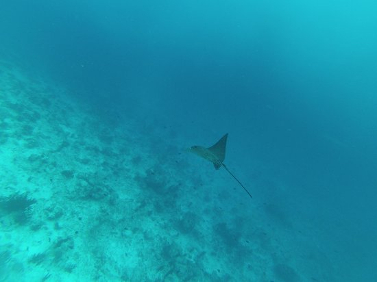 Embudu Village : Stingray en plein vol