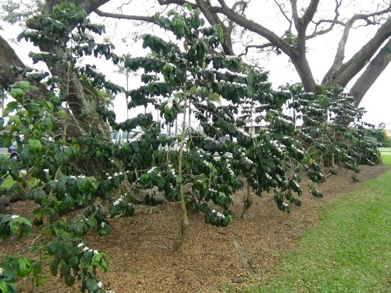 Big Island Candies : コナコーヒーの木