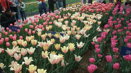Xi'an Botanical Garden : Tulip5