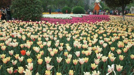Xi'an Botanical Garden : Tulip1