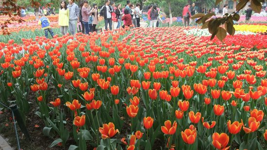 Xi'an Botanical Garden: Tulip4