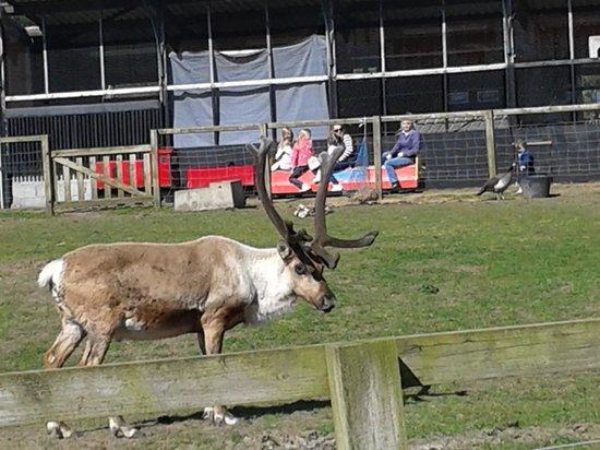 Solway Holiday Village : reindeer