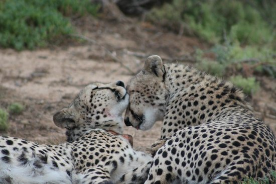 Kwandwe Ecca Lodge: Two brothers after feeding on their kill