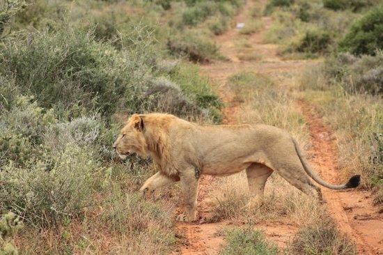Kwandwe Ecca Lodge: Young male creeping out the bush