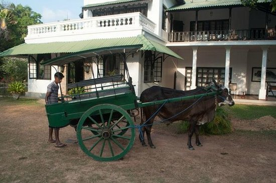 Horathapola Estate: Bullock Cart