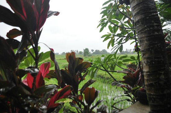 The Zala Villa Bali : the wet ricefields and tropical gardens, during a morning drizzle