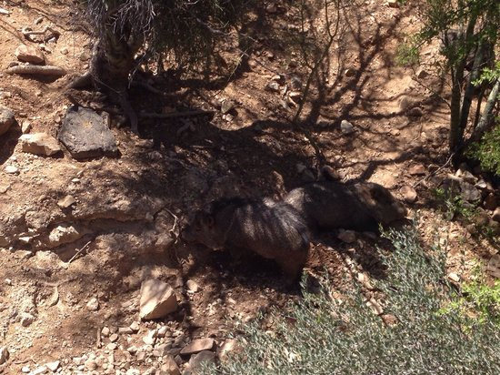 Arizona-Sonora Desert Museum : Love the javelinas!