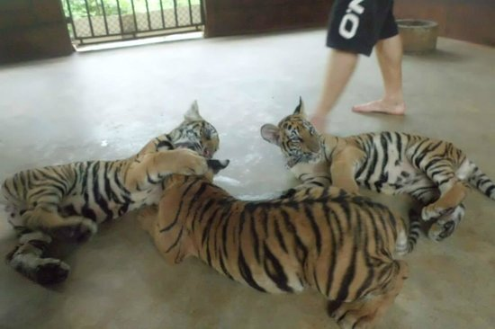 Tiger Temple Thailand Tour : 1
