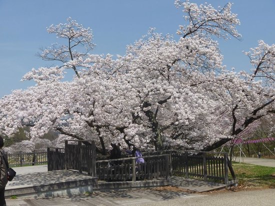 Matsumoto Alps Park: アルプス公園桜_2