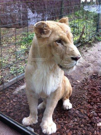 ZooParc de Beauval: Lionne à moins d'un mètre !