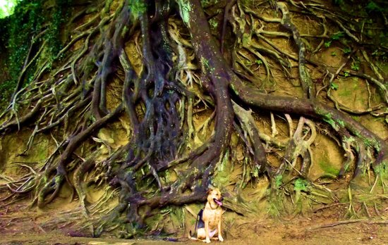 Falls Park am Reedy River: Famous tree roots on Furman property