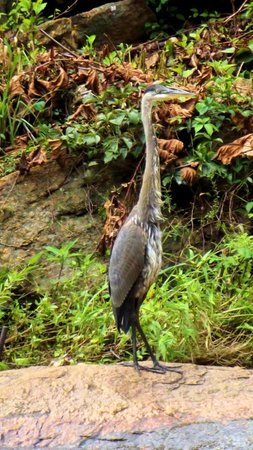 Falls Park am Reedy River: Local wildlife, Great Blue Heron