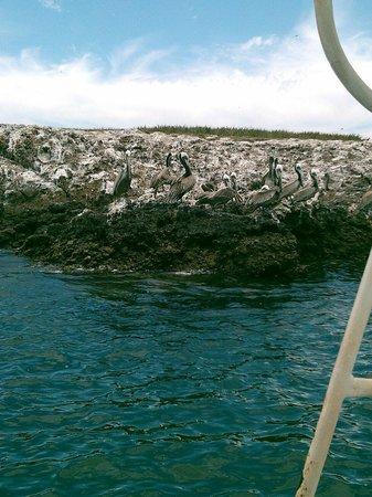 Islas Marietas: Pajaro bobo