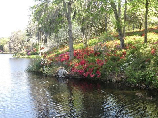 Inn at Middleton Place : Azaleas starting to bloom by rice mill pond