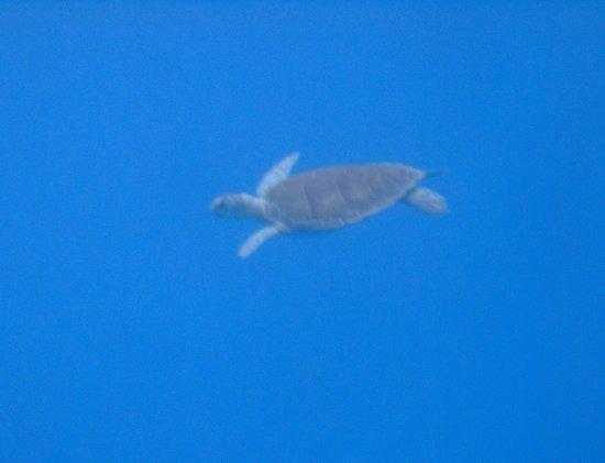 N2theBlue Scuba Diving: Turtle