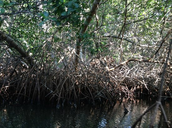 Laguna de la Restinga: Manglares durante el paseo